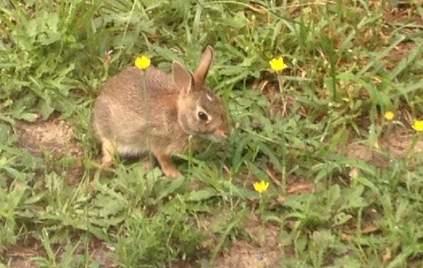Brown Backyard Bunny