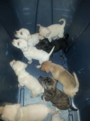 Dobby -The Bucket Of Puppies