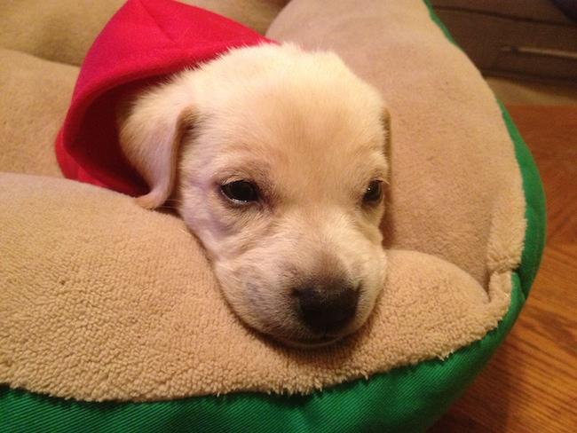 Dobby puppy